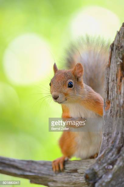 Eurasian Red Squirrel -Sciurus vulgaris- looks curiously out from behind an old pine stump, Nationalpark Oulanka, Nationalpark, Lapland, Finland