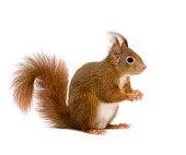 Eurasiatische Eichhörnchen Sciurus vulgaris -