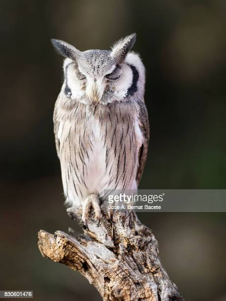Eurasian Scops Owl perched on an old trunk of tree hunting with the eyes closed sleeping.  Spain,
