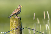 Eurasian skylark (Alauda arvensis) perched on a pole in agricultural landscape. This small passerine bird species is a wide-spread species found across Europe and Asia