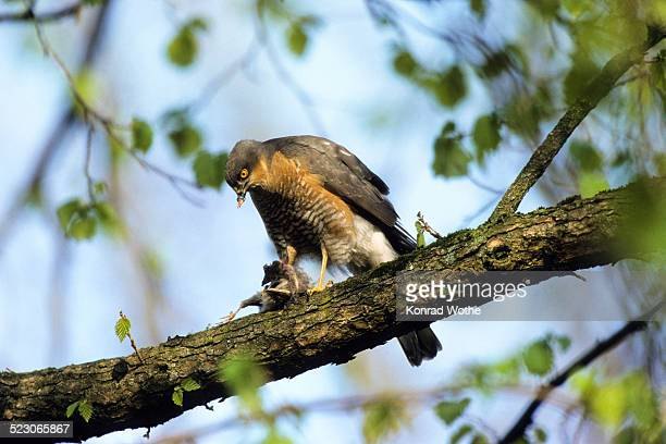 Eurasian Sparrowhawk -Accipiter nisus-, male with prey, plucking, Upper Bavaria, Bavaria, Germany, Europe