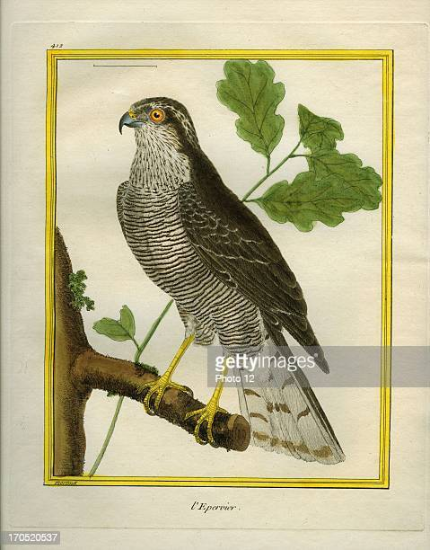 Eurasian Sparrowhawk Accipiter nisusEurasian SparrowhawkGeorgesLouis Leclerc Comte of Buffon 'Natural History of birds fish insects and reptiles'...
