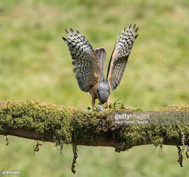 Eurasian Sparrowhawk Perching On Moss Covered Branch