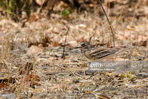 Eurasian stone-curlew taking rest in a shade on a summer day