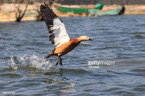 Eurasian Wigeon takes off