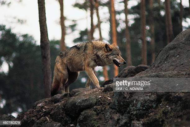 Eurasian Wolf or European Wolf Canidae