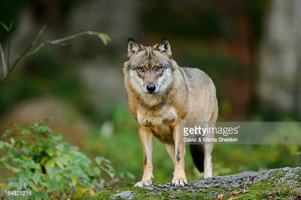 Eurasian Wolf (Canis lupus lupus) standing