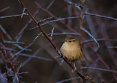 One of the UK's smallest resident birds, The Wren. Here seen in the middle of a thorn bush during the Winter months
