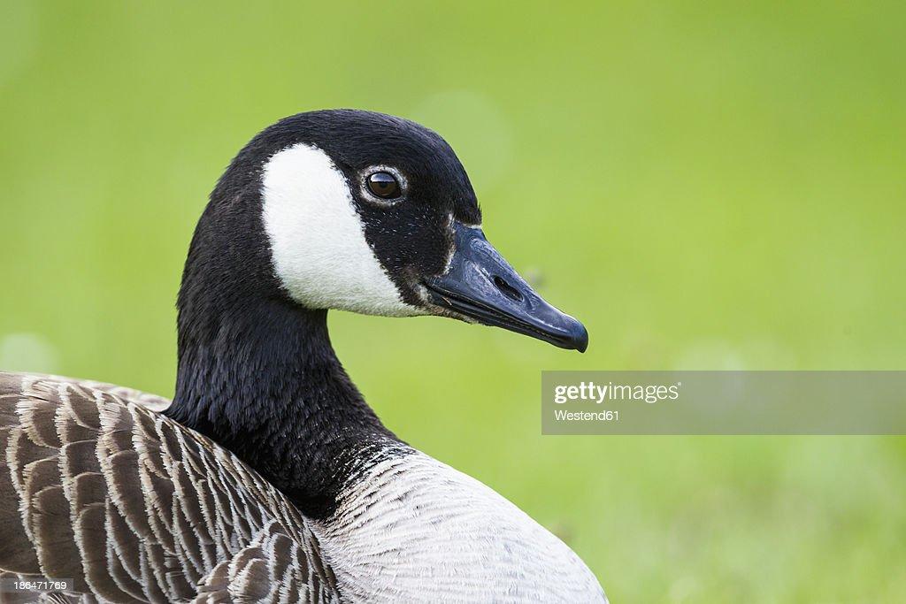 canada goose online europe