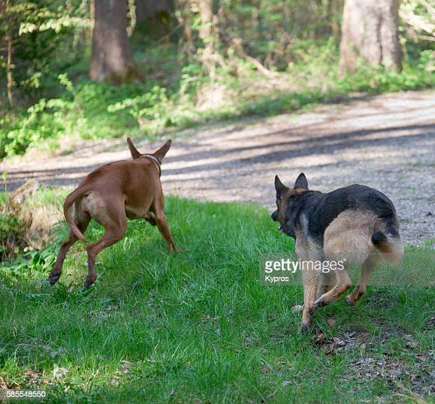 Europe, Germany, Bavaria, View Of Alsatian (German Shepherd) Dog Running With Young Rhodesian Ridgeback In Park
