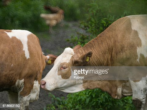Europe, Germany, Bavaria, View Of Dairy Cow