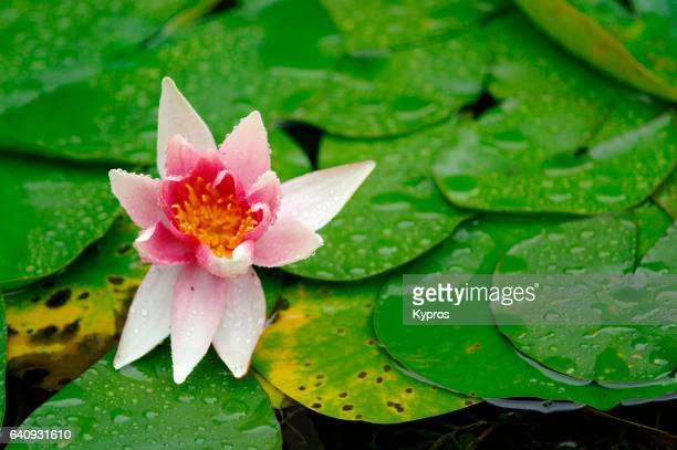 Europe, Germany, View Of Water Lilies Plant With Pink Flower