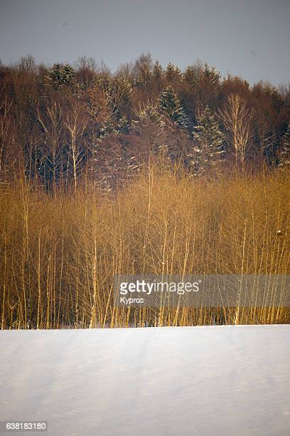 Europe, Germany, Winter View Of Snow Covered Trees In Man-Made Forest