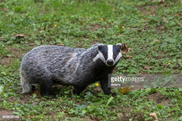 European badger foraging in grassland