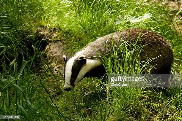 European Badger searching through long grass for food