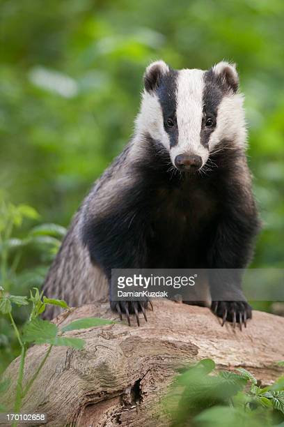 European Badger - vertical portrait