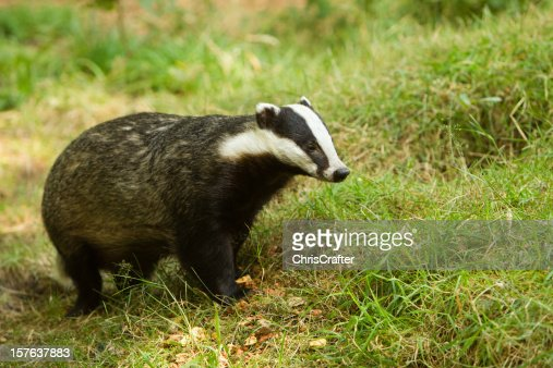 European Badger with caption space. Focus on foreground