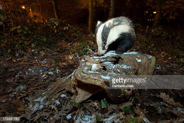 European Badger-Urban Wildlife