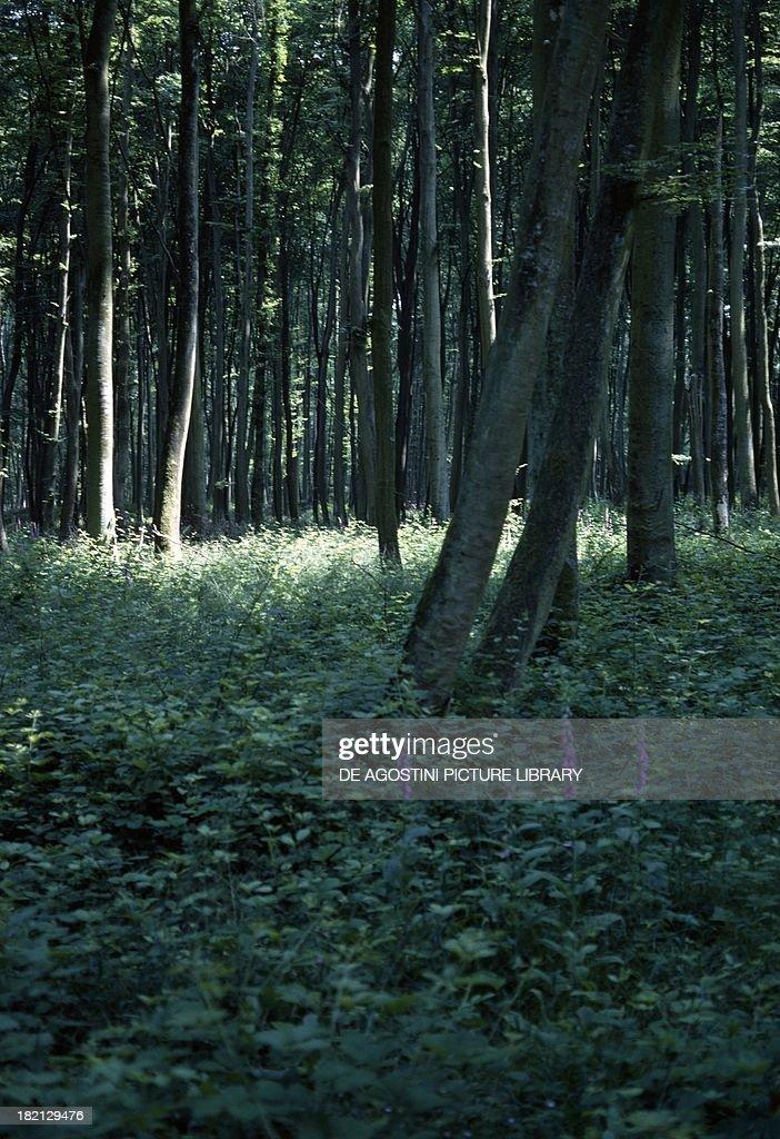 European Beech or Common Beech trees Fagaceae Lyons Forest near LyonslaForet Haute Normandie France