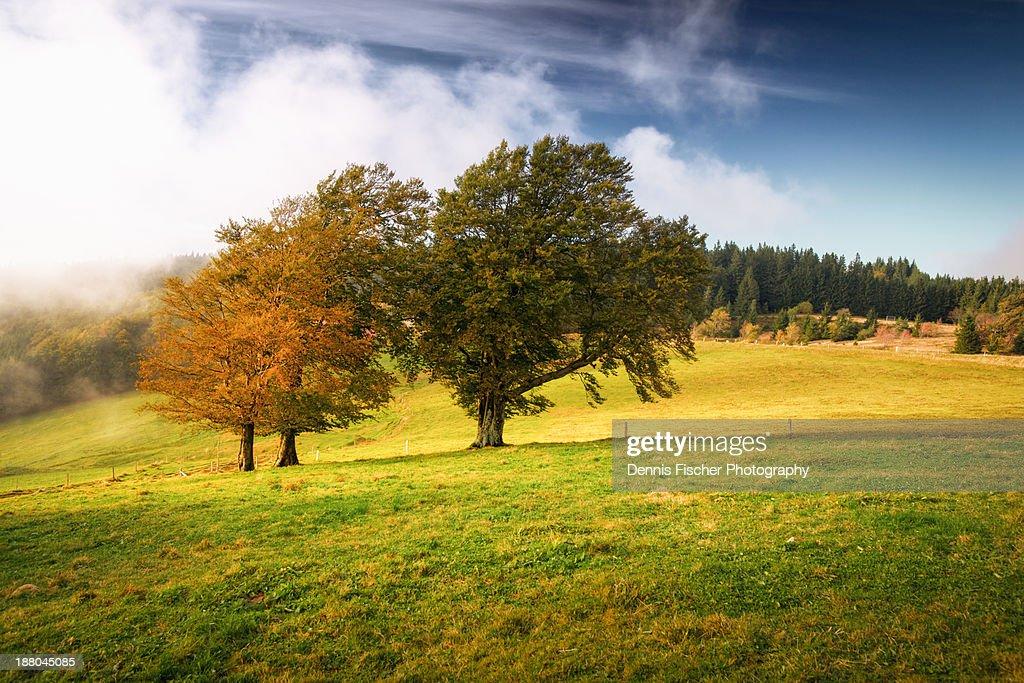 European beech trees