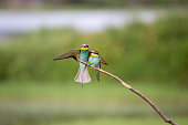 European Bee-eater fight (Merops apiaster) on brunch - Bird Male with Female, Isola della Cona, Monfalcone, Italy, Europe