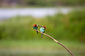 European Bee-eater courtship (Merops apiaster) - male with insect for female, Isola della Cona, Monfalcone, Italy, Europe