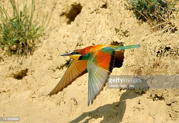 European bee-eater in fight
