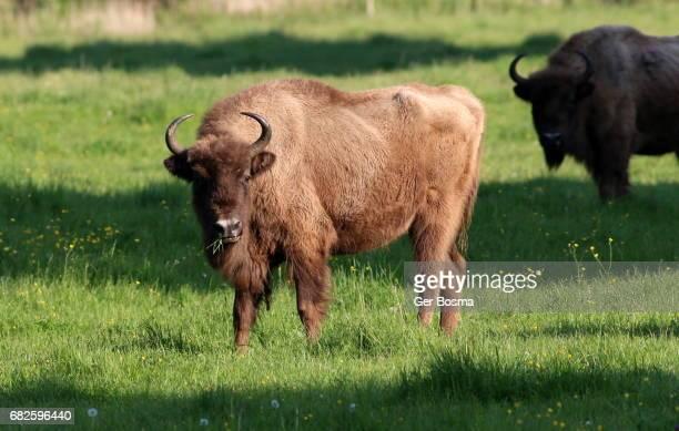 European Bison Cow (Bison bonasus)