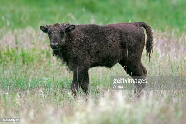 European bison / wisent / European wood bison calf in grassland