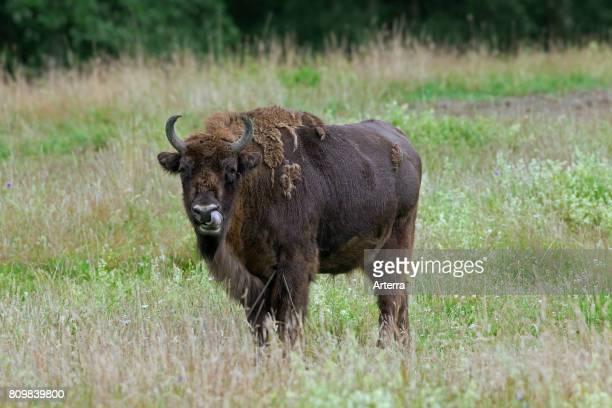 European bison / wisent / European wood bison cow in grassland at forest edge