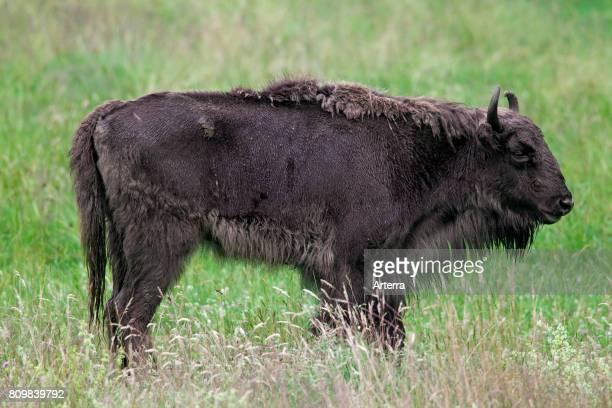 European bison / wisent / European wood bison cow in grassland