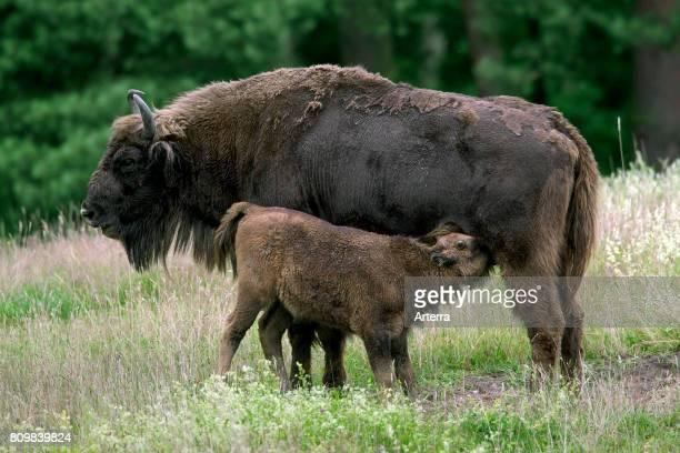 European bison / wisent / European wood bison cow with suckling calf in grassland