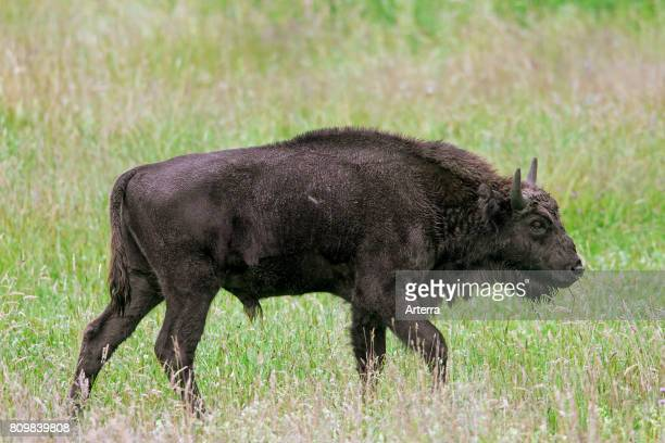 European bison / wisent / European wood bison young bull in grassland
