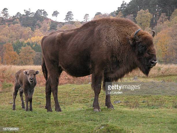 European Bison with calf
