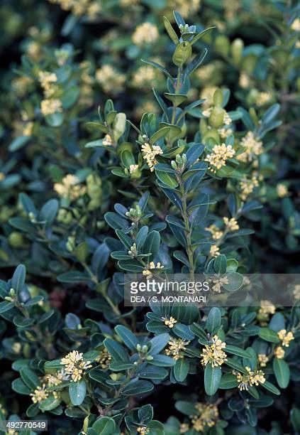 European Box Buxaceae