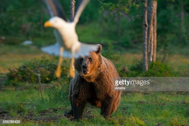 European Brown bear chasing away gull in the taiga Karelien Finland Scandinavia