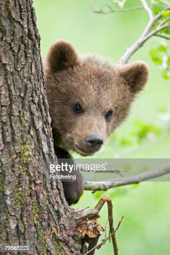European brown bear (Ursus arctos) cub in tree, close-up