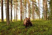 European brown bear in a forest scenery. Brown bear in a forest landscape.