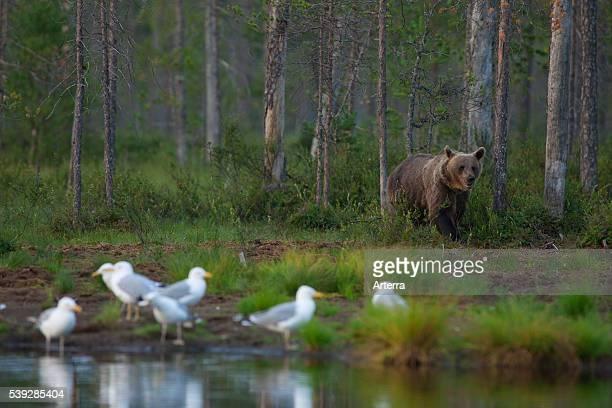 European Brown bear walking along lake in the taiga Karelien Finland Scandinavia