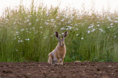 European Brown Hare (Lepus europaeus) in ploughed field