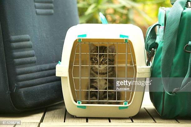 European brown tabby kitten in travel container