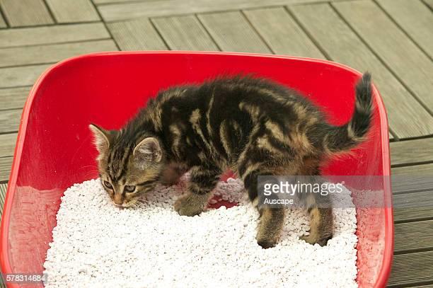 European cat Felis catus brown tabby kitten in litter tray