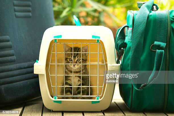 European cat Felis catus brown tabby kitten inside cat carrier