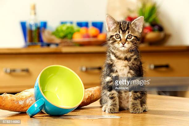 European cat Felis catus brown tabby kitten sitting next to cup of spilt milk