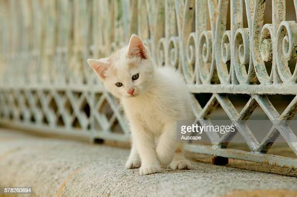 European cat Felis catus white kitten beside metal railing
