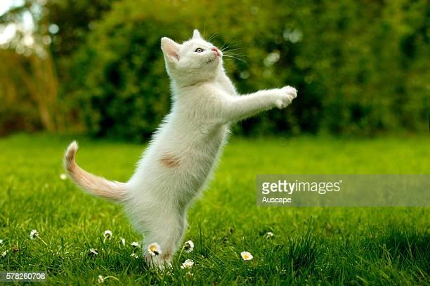 European cat Felis catus white kitten playing outdoors