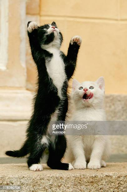 European cats Felis catus playing outdoors