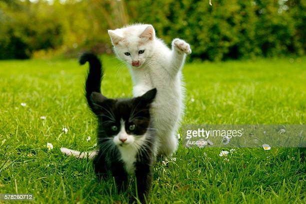 European cats Felis catus two kittens playing outdoors