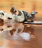 European Chaffinch , male Chaffinch bird species , (Fringilla coelebs ) .Red Crossbill (Loxia curvirostra) male,  on a stone reflected in water