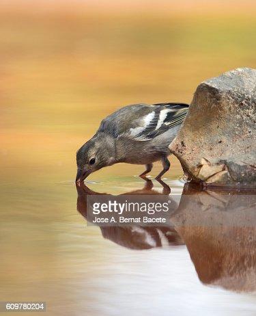 European Chaffinch  male , (Fringilla coelebs ),on a rock drinking water .  Spain.